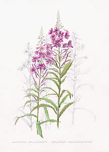 BRochfordRosebaywillowherb1a