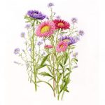 Rochford_Asters